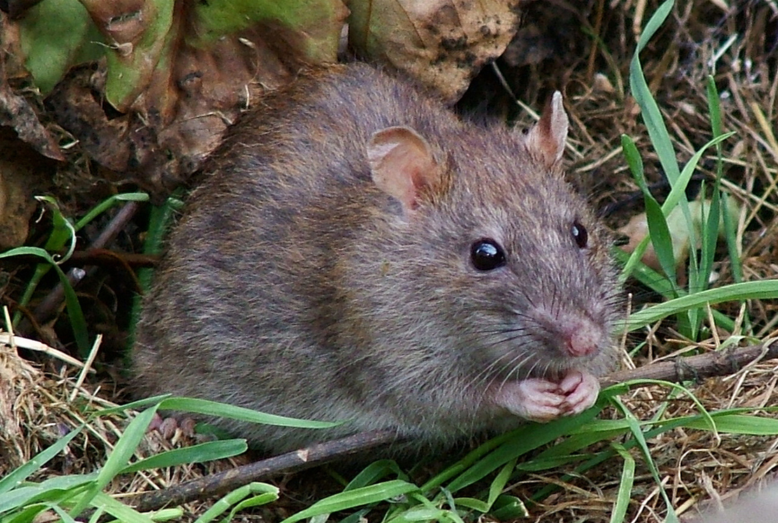 Why is Pest Control Still Important During COVID-19 Pandemic?