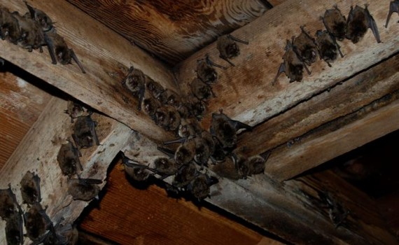 Bats In The Belfry How To Get Them Out Sitaph