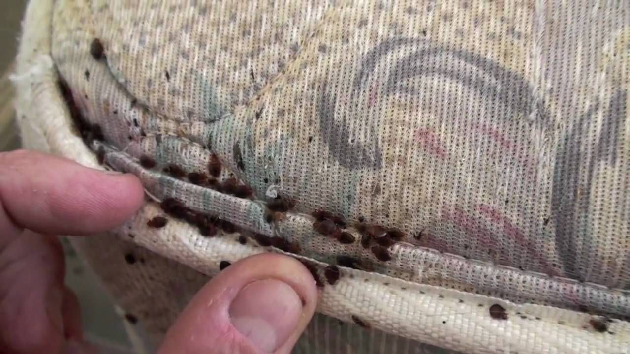 Extreme Bed Bug Infestation